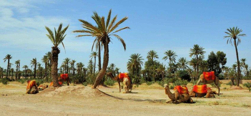 La palmeraie de Marrakech au Maroc